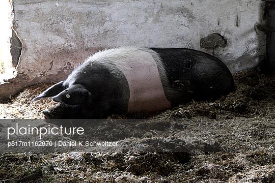 Schwein - p817m1162870 von Daniel K Schweitzer