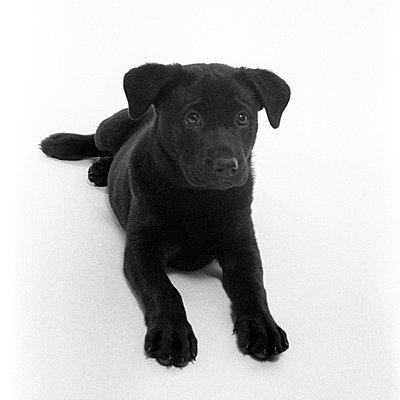 Black Labrador puppy - p3721274 by Scott Gordon