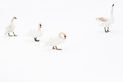 Mute Swan  group on ice, Hazerswoude-Dorp, Netherlands - p884m1129357 by Misja Smits/ Buiten-beeld