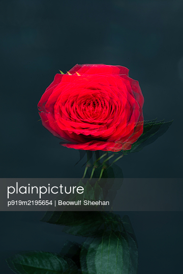 Blurred red rose - p919m2195654 by Beowulf Sheehan