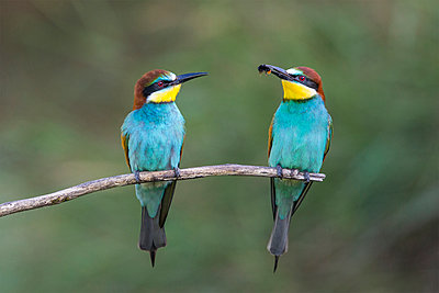 European Bee-eater  male presenting Bumblebee  prey as courting gift, Hungary - p884m1145373 by John Gooday/ NIS