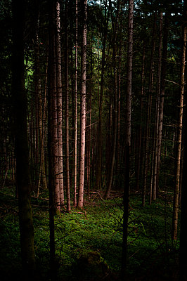 Forest soil with moss in coniferous forest - p947m2209409 by Cristopher Civitillo