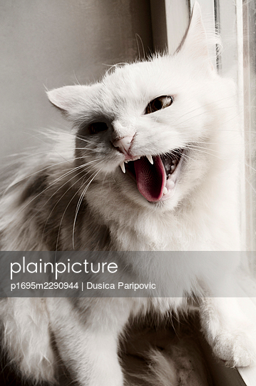 White cat spitting, close-up - p1695m2290944 by Dusica Paripovic