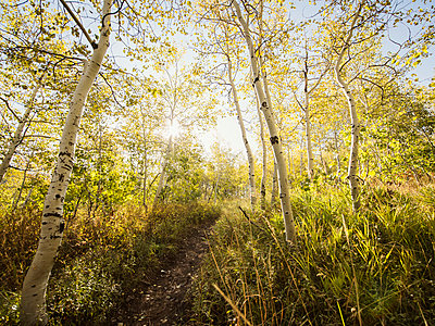 Sunny mountain trail with Quaking Aspen in autumn - p1166m2073522 by Cavan Images