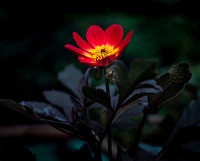 Red Dahlia - p1088m937909 by Martin Benner