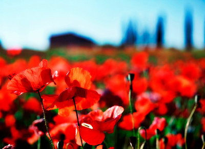 Poppies - p2680806 by Rudi Sebastian