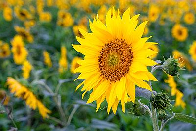 Close-up of a sunflower - p300m2132531 by Stefan Schurr