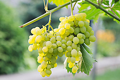 Bunches of ripe white grapes hanging from a vine - p301m744313f by Vladimir Godnik