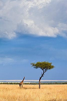 A Western African Giraffe (Giraffa camelopardalis peralta) stand next to an acacia tree in the Masai Mara, Kenya. - p343m989336f by Grant Ordelheide
