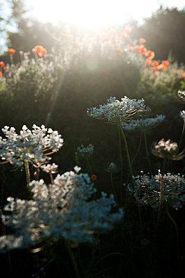 Wildblumen im Gegenlicht - p533m2065571 von Böhm Monika