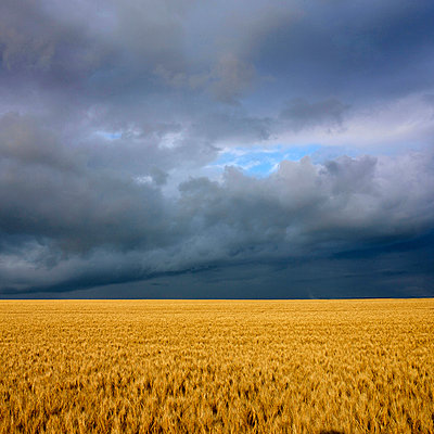 Wheat field under a overcast - p813m924528 by B.Jaubert
