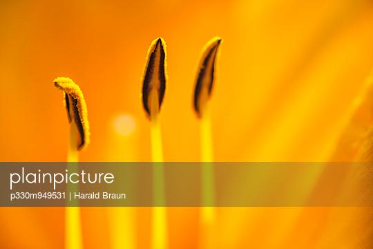 Blütenstempel - p330m949531 von Harald Braun
