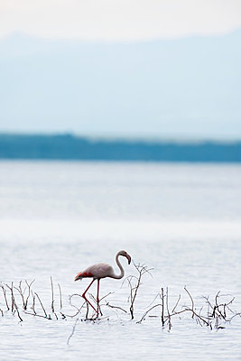 Lonely Flamingo - p533m1152672 by Böhm Monika