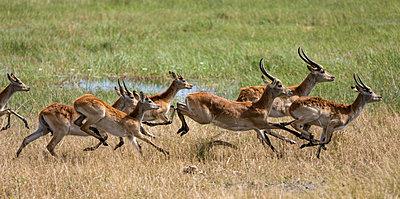 Botswana, Hunda Island, Okavango Delta. An all male herd of Red Lechwe running. - p652m1505116 by Nigel Pavitt