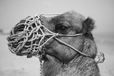 Camel with muzzle - p1150m2164072 by Elise Ortiou Campion