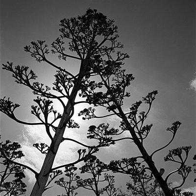 Blühende Agaven - p2200563 von Kai Jabs