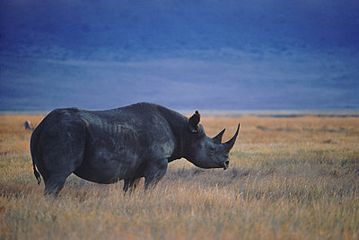 Black rhino Diceros bicornis in Ngorongoro Crater in Tanzania - p34811032 by Chad Ehlers