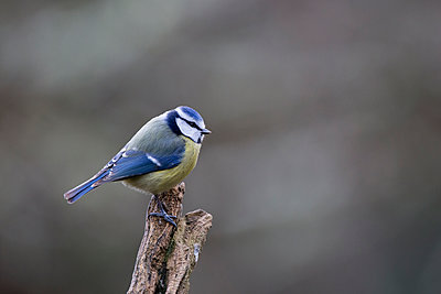 Close-up of Eurasian blue tit perching on branch - p1166m1561456 by Cavan Images