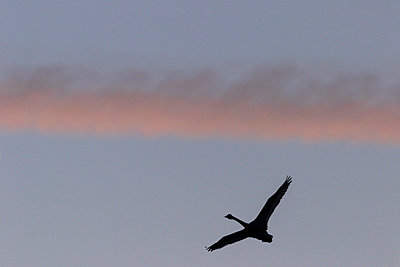 Tundra Swan Sihouette in front of red cloud - p1480m2229475 by Brian W. Downs