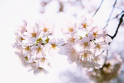 Cherry blossoms - p307m1106044f by Hideki Yoshihara