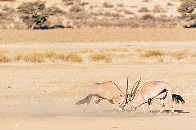 Kämpfende Oryxantilopen, Kalahari, Südafrika - p1065m982671 von KNSY Bande