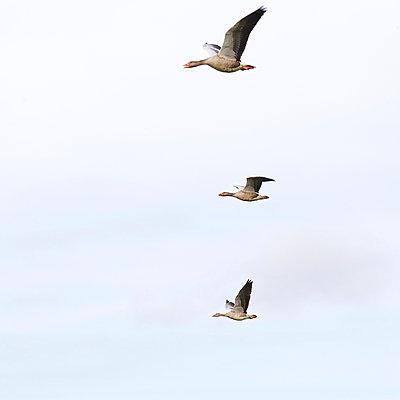 Wildgänse im Flug - p606m890811 von Iris Friedrich