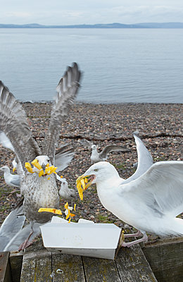 Seagulls eating fish and French fries at beach - p609m1101731f by STUDD