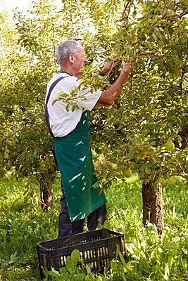 Organic farmer harvesting williams pears - p300m2140978 by Sebastian Dorn