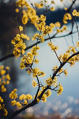 Yellow blossoms against the light - p1184m1222728 by brabanski