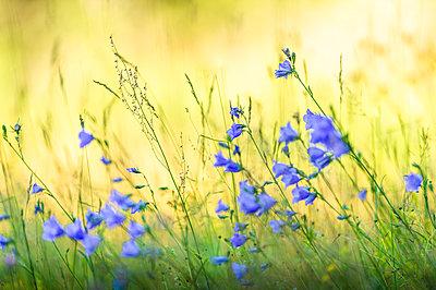 Bluebells on meadow - p1418m2288278 by Jan Håkan Dahlström