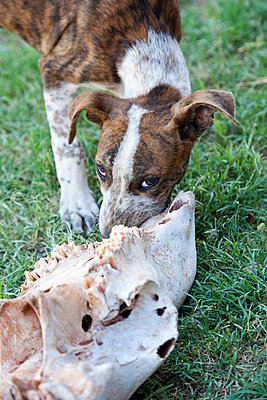 Dog with bone - p628m740285 by Franco Cozzo