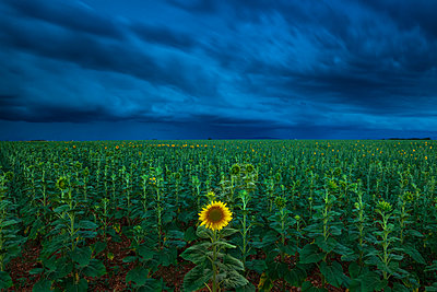 Single Sunflower in Storm, Provence, France - p651m2032851 by Tom Mackie