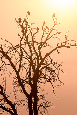 Crows perched in a tree - p739m1170268 by Baertels