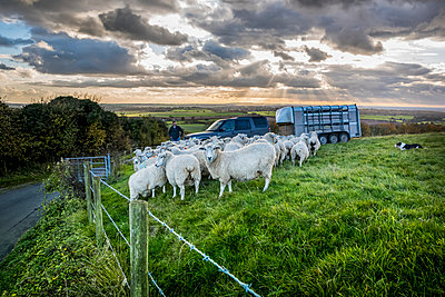 Flock of sheep standing along a fence at the edge of a pasture and a farmer with a truck and trailer, North Downs Way; Kent, England - p442m2074181 by Dosfotos