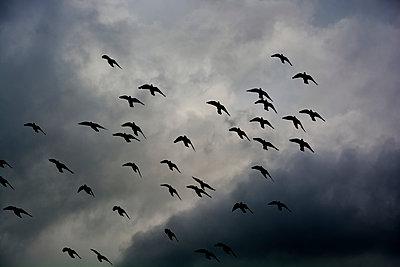 Vogelschwarm - p876m966745 von ganguin
