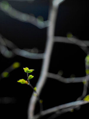 Sapling on branch against black background - p30017270f by Andreas Hoernisch