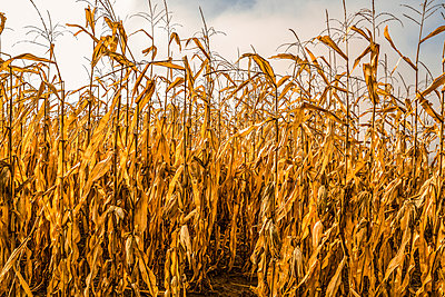 Old corn field revealing post harvested corn; Ottawa, Ontario, Canada - p442m2091695 by Richard Desmarais