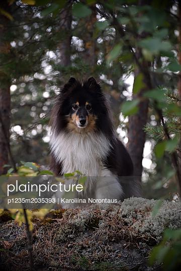 Shetland Sheepdog - p1235m2035393 von Karoliina Norontaus