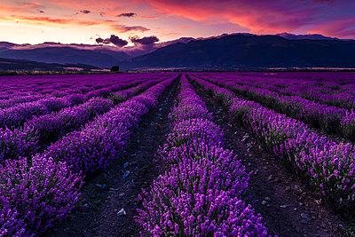 Splendid lavender field - p1166m2113194 by Cavan Images
