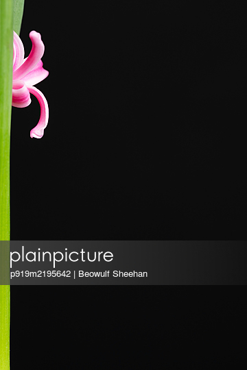 Pink hyacinth flower with green stem against black background - p919m2195642 by Beowulf Sheehan
