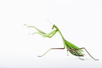 Praying mantis, Mantis religiosa - p1437m2057094 by Achim Bunz