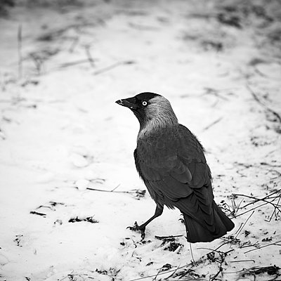 Jackdaw on snow - p312m1113979f by Jan Tove