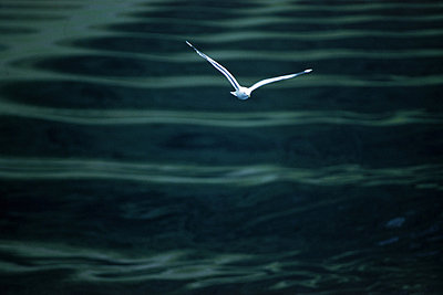 Seagull in flight over washboard of dark water - p34811087 by Chad Ehlers