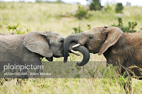Playing elephants - p533m1003288 by Böhm Monika
