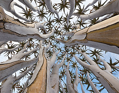 Quiver Tree trunk, Namib Desert, Namibia - p884m1357002 by Yva Momatiuk & John Eastcott