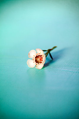 Chamelaucium uncinatum wax flower - p1248m2152480 by miguel sobreira