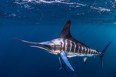 Striped marlin hunting mackerel and sardines - p429m2068825 by Rodrigo Friscione