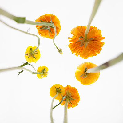 Ranunculus from below - p824m2116921 by jochen leisinger