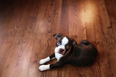 Portrait of boston terrier puppy lying on wooden floor - p924m1422844 by Rebecca Nelson