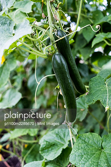 Close up of cucumber plants growing on the vine. - p1100m2285670 by Mint Images